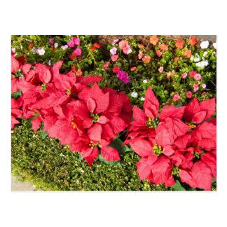 Poinsettia Garden Postcard