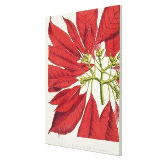 Poinsettia Pulcherrima (colour litho) Canvas Print