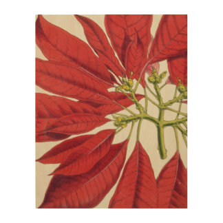 Poinsettia Pulcherrima (colour litho) Wood Print