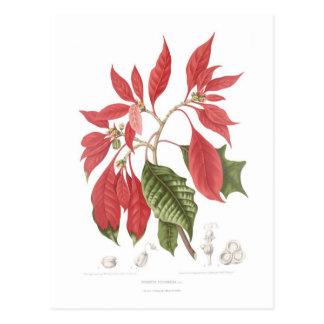 Poinsettia pulcherrima postcard