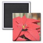 Poinsettia Square Magnet