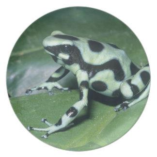 Poison Dart Frog, (Dendrobates auratus) Cahuita Plates