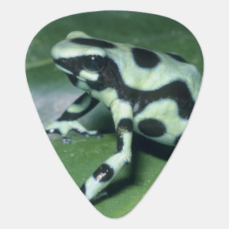 Poison Dart Frog, (Dendrobates auratus) Cahuita Plectrum