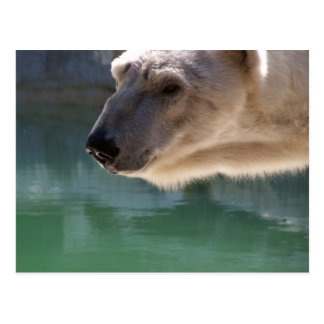 Polar Bear Close Up Portrait Postcard