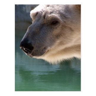 Polar Bear Close Up Portrait Postcards