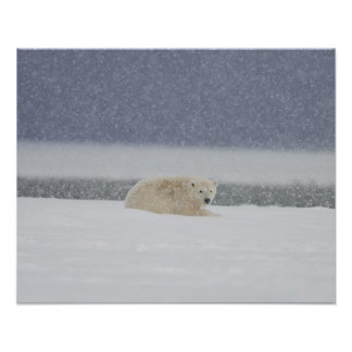 Polar bear cub lays in snow during a snowstorm poster