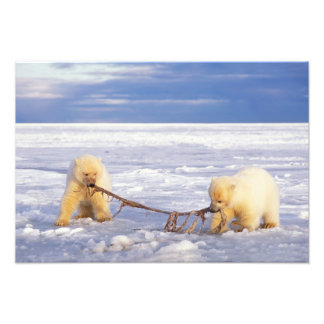 Polar bear cubs and meat on pack ice of frozen photo