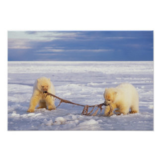 Polar bear cubs and meat on pack ice of frozen poster