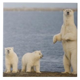 Polar bear cubs and their mother tile