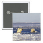 Polar bear cubs playing in pack ice of the 15 cm square badge