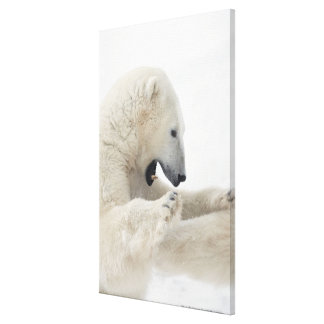 Polar bear engaging in a fight with another bear stretched canvas prints