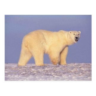 Polar Bear in Arctic Alaska Postcard