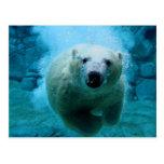 Polar Bear In Water Post Cards