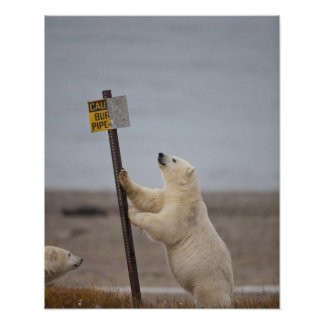 Polar bear leans on sign for buried pipe