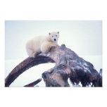 Polar bear on top of a bowhead whale jaw bone, photo