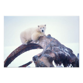 Polar bear on top of a bowhead whale jaw bone, photo