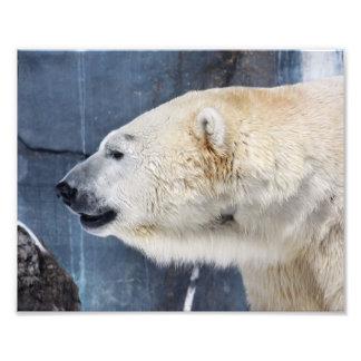 Polar Bear Portrait Photo