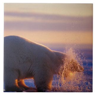 Polar bear pulling its head out of a hole in the tile