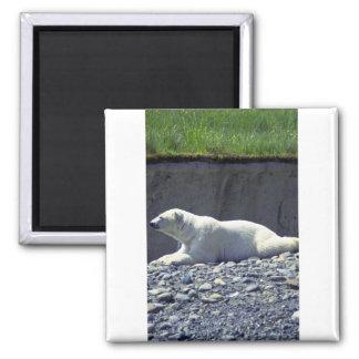 Polar Bear Reclining, Left Profile Square Magnet