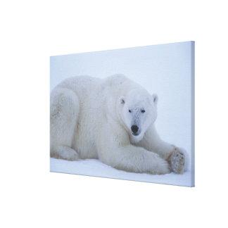 Polar Bear Resting in Snow Canvas Print