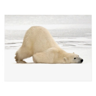 Polar bear scratching itself on frozen tundra postcard