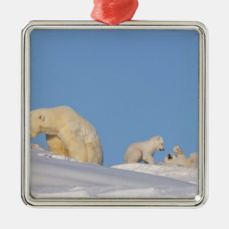 Polar bear sow feeding on grass to get her Silver-Colored square decoration