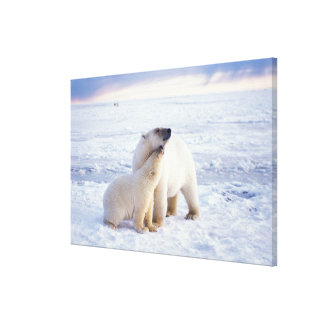 Polar bear sow with cub, pack ice of the stretched canvas print