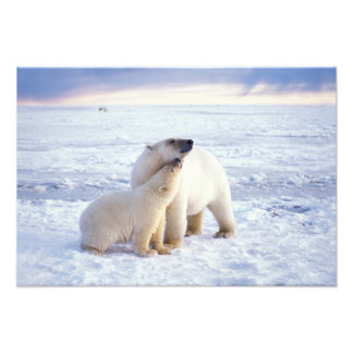 Polar bear sow with cub, pack ice of the photo print