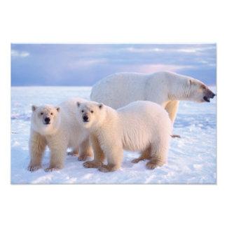 Polar bear sow with cubs on pack ice, coastal art photo