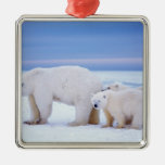 Polar bear sow with cubs on pack ice of