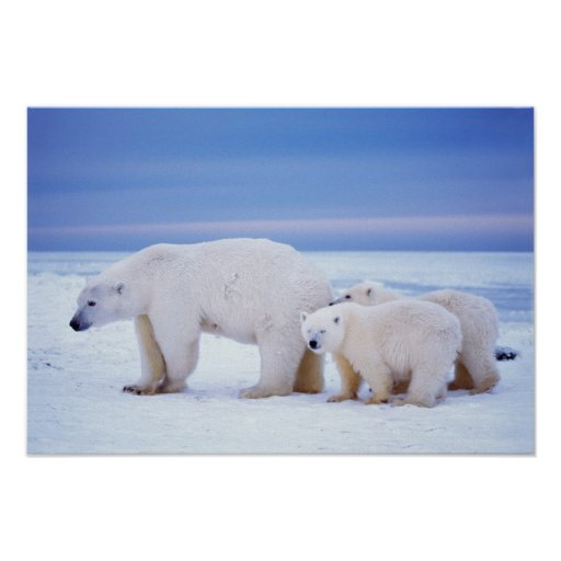 Polar bear sow with cubs on pack ice of poster