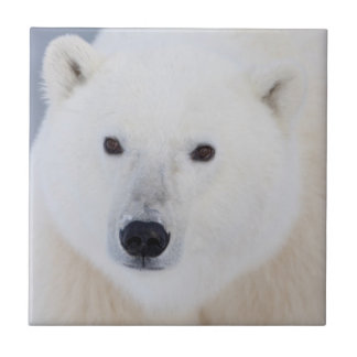 Polar Bear Tile