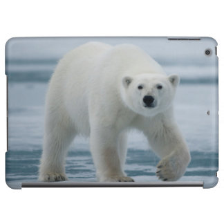 Polar Bear, Ursus Maritimus, Adult