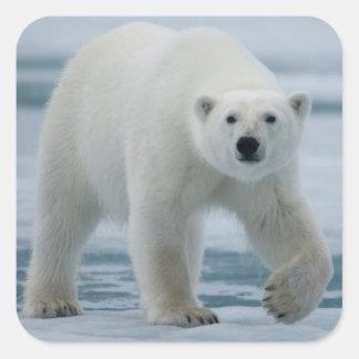 Polar Bear, Ursus Maritimus, Adult Square Sticker