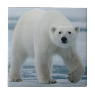 Polar Bear, Ursus Maritimus, Adult Tile