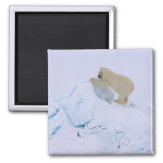 polar bear, Ursus maritimus, climbing up rough Square Magnet
