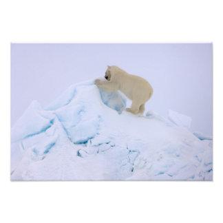 polar bear Ursus maritimus climbing up rough Photograph