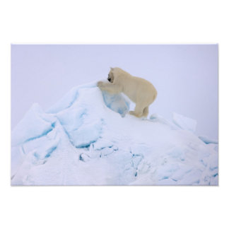 polar bear, Ursus maritimus, climbing up rough Photograph