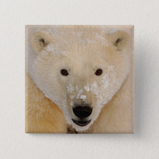 polar bear, Ursus maritimus, close up of a cub 15 Cm Square Badge