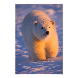 polar bear, Ursus maritimus, cub on the pack Photo Print