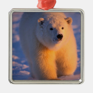 polar bear, Ursus maritimus, cub on the pack Silver-Colored Square Decoration