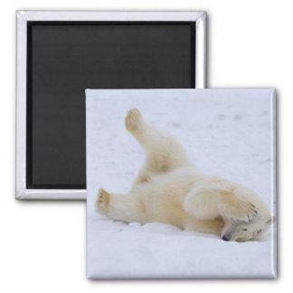 polar bear, Ursus maritimus, cub rolling 2 Magnet