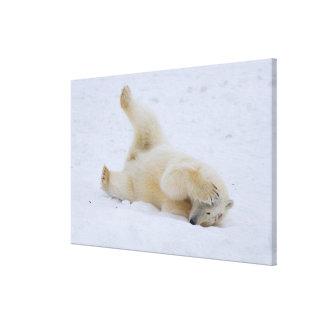 polar bear Ursus maritimus cub rolling 3 Stretched Canvas Prints