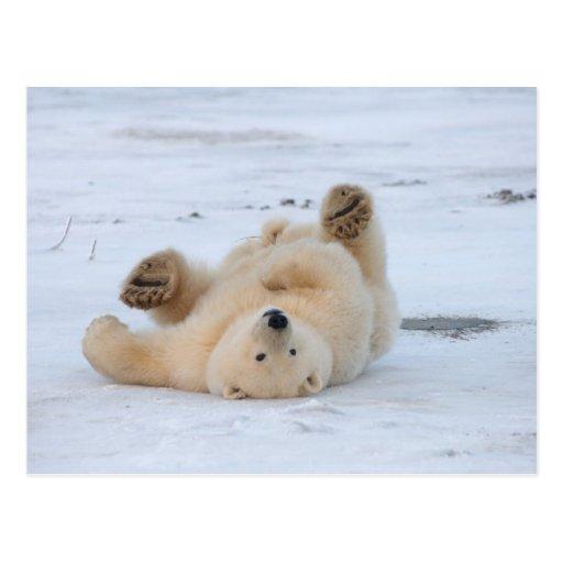 polar bear, Ursus maritimus, cub rolling 3 Post Card