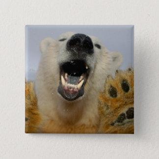 polar bear, Ursus maritimus, curiously looks in 15 Cm Square Badge