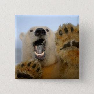 polar bear, Ursus maritimus, curiously looks in 2 15 Cm Square Badge