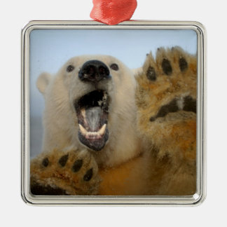 polar bear, Ursus maritimus, curiously looks in 2 Silver-Colored Square Decoration
