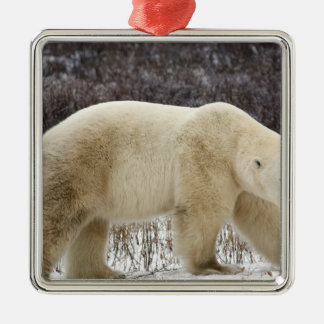 Polar Bear Ursus maritimus) in Churchill Christmas Ornament