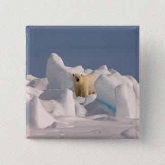 polar bear, Ursus maritimus, in rough ice on 2 15 Cm Square Badge