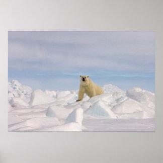 polar bear, Ursus maritimus, in rough ice on Poster